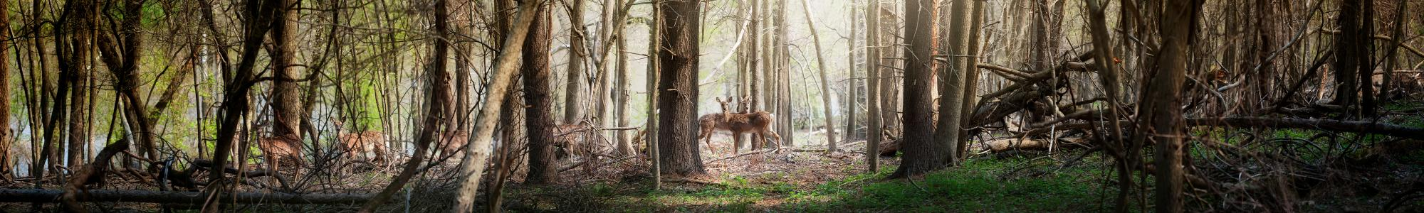 Image of deer in the forest